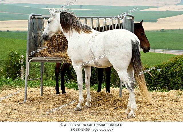 Lusitano horse, geldings, white and bay horses, standing at a hay rack, Andalusia, Spain