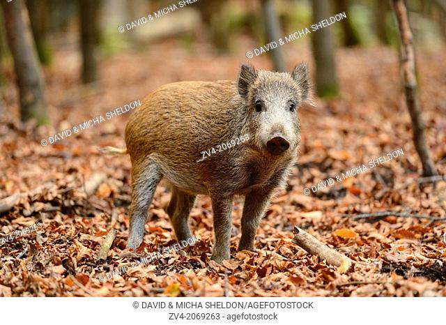 Close-up of a Wild boar or wild pig (Sus scrofa) in autumn in the bavarian forest