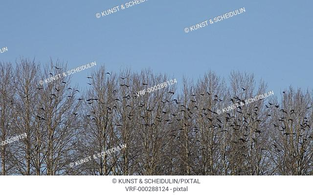 A flock of Jackdaws (Corvus monedula) is flying up from a row of bare trees to soar through the blue sky. Noraström, Västernorrlands Län, Sweden