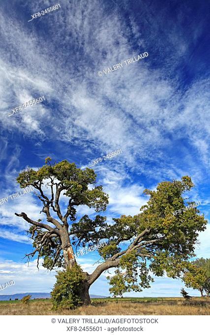 Old oak, Alpes de Haute Provence, Provence-Alpes-Côte d'Azur, France