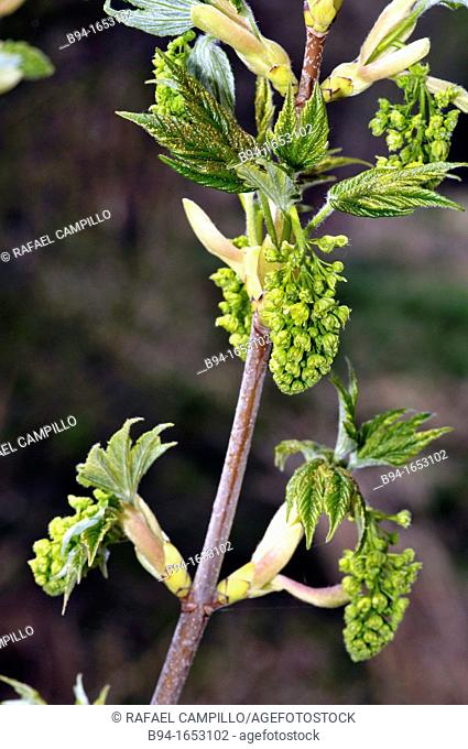 Ash (Fraxinus sp., fam. Oleaceae) sprouting. Osseja, Pyrenees-Orientales, Languedoc-Roussillon, France