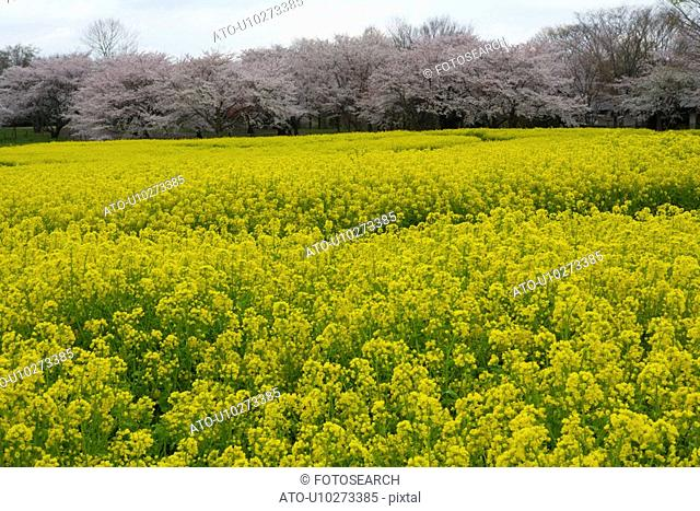 Cherry blossoms and rape field, Japan