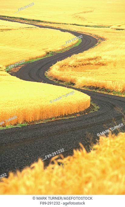 Road through ripe wheat fields. Palouse. Whitman County. Washington, USA