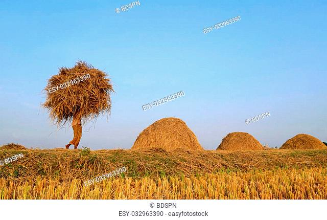 A Bangladeshi people carries bunch of newly harvested paddy