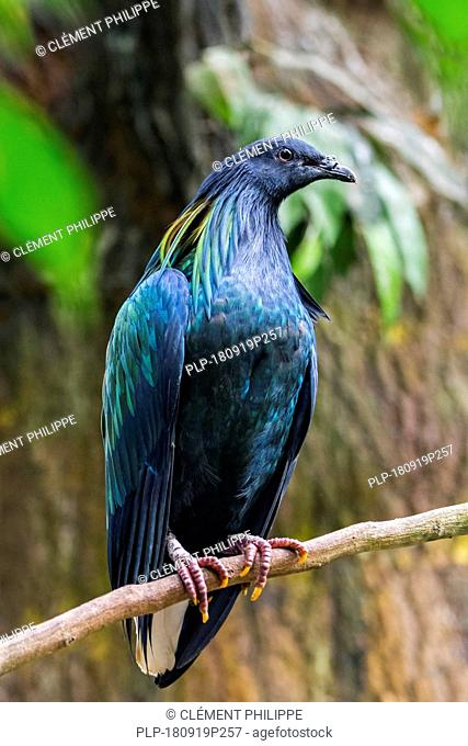 Nicobar pigeon (Caloenas nicobarica) perched in tree, native to the coastal regions from the Andaman and Nicobar Islands, India