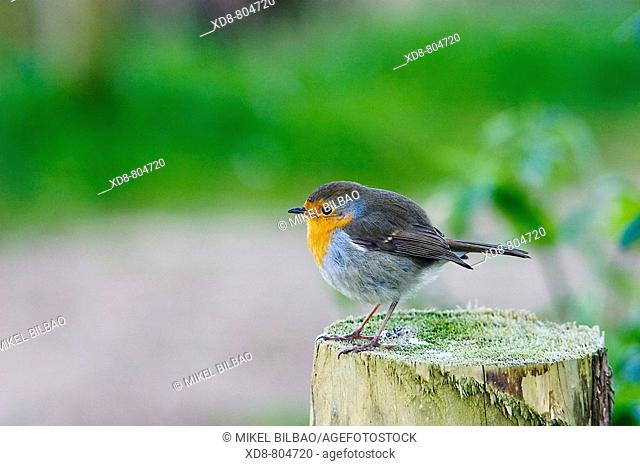 European Robin Erithacus rubecula on a stump