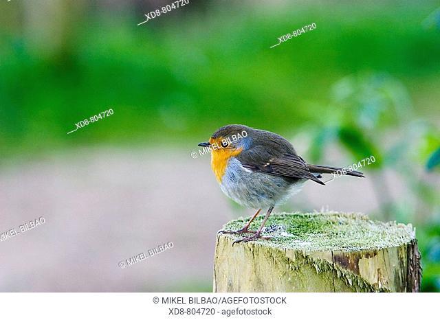 European Robin Erithacus rubecula on a stump
