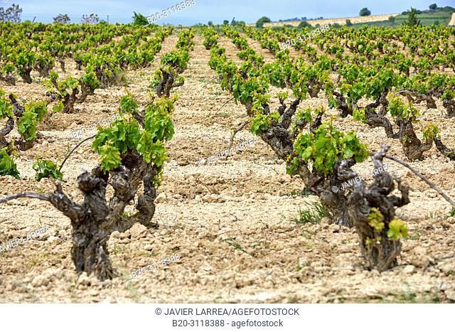 Vineyard, Elciego, Rioja Alavesa, Araba, Basque Country, Spain, Europe
