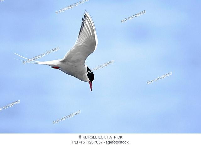 Arctic tern (Sterna paradisaea) male flying over sea against blue sky