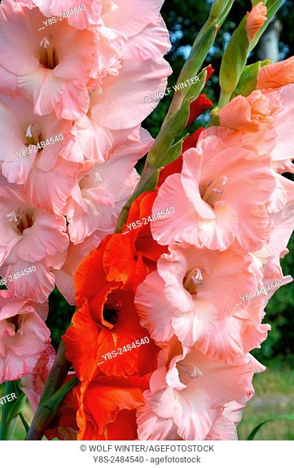 Self service field of Gladioluses near Celle, Lower Saxony, Germany