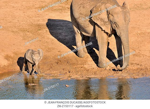 African elephants (Loxodonta africana), adult and baby, drinking at water hole, Addo Elephant National Park, Eastern Cape, South Africa, Africa