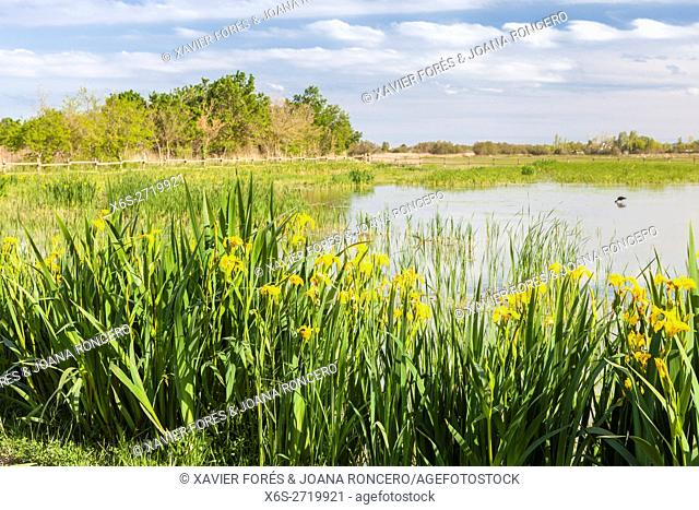 Yellow flag, yellow iris or water flag -Iris pseudacorus- in the Natural Park of Aiguamolls de l'Emporda, Girona, Spain