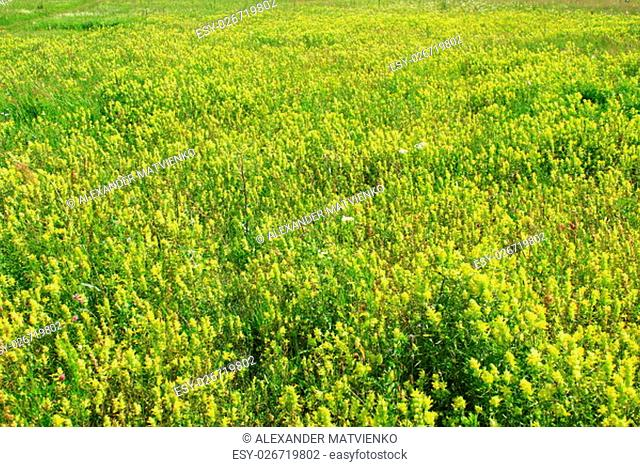 beautiful summer field with a lot of Linaria vulgaris yellow flowers