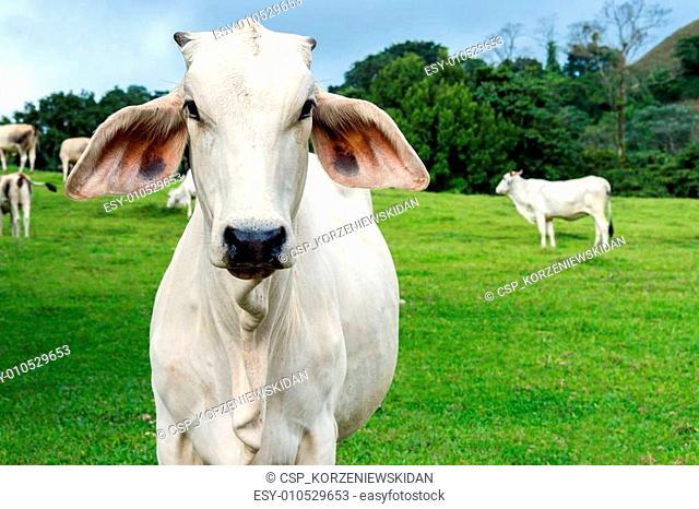 Cow in a farmland