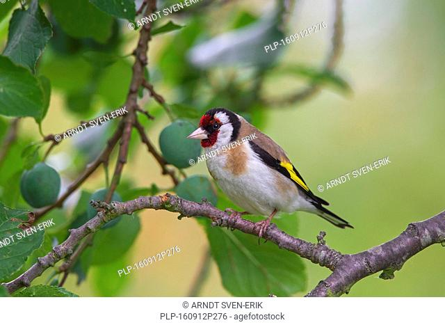 European goldfinch (Carduelis carduelis) perched in tree