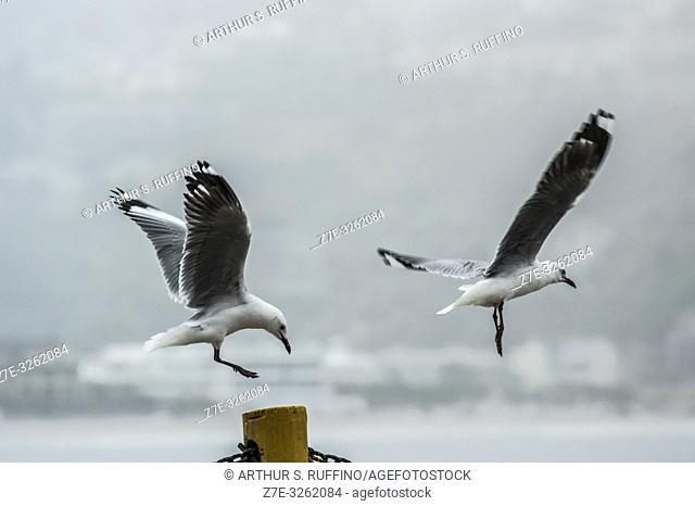 Cape gulls (Larus dominicanus vetula) in flight, South Africa. High-key lighting