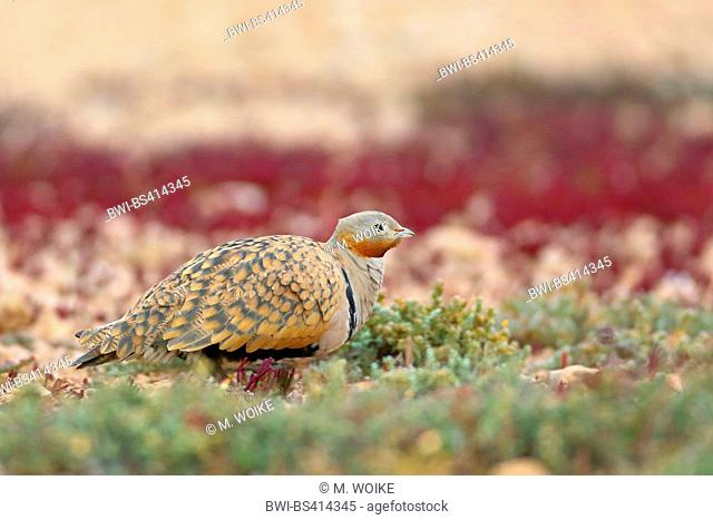 black-bellied sandgrouse (Pterocles orientalis), male sitting in the semi-desert, side view, Canary Islands, Fuerteventura