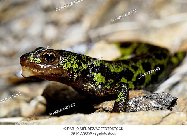 Marbled newt Triturus marmoratus with a face anomaly in a pond of Mouruas, Orense, Spain