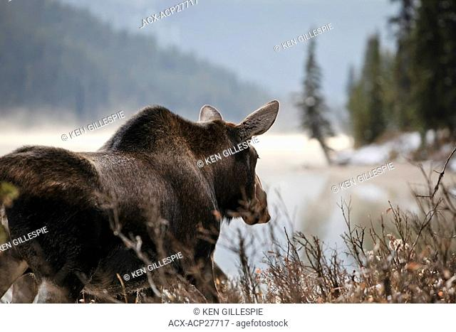 Adult Moose on an early misty morning, Maligne Lake shoreline, Jasper National Park, Alberta, Canada