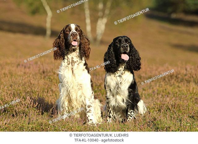 2 English Springer Spaniels