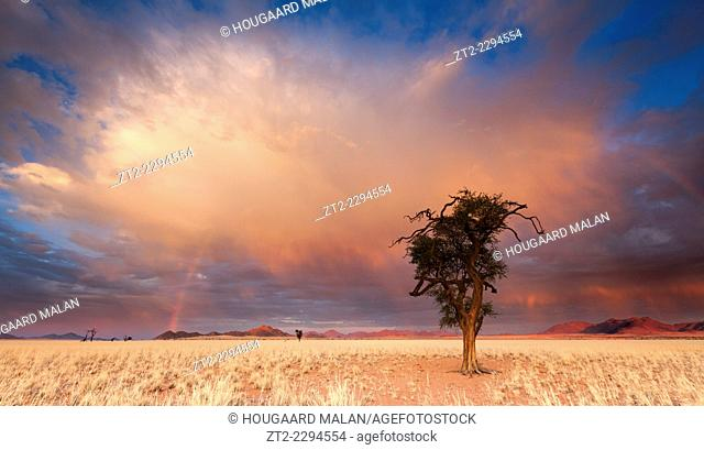 Wide angle view of a camelthorn tree against an amazing sunrise sky. Namib Rand, Namibia