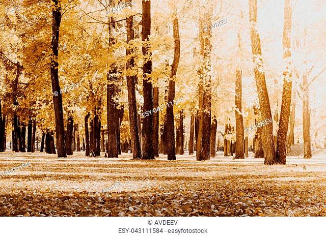 Poplar grove. Forest of trees with yellow leaves in autumn