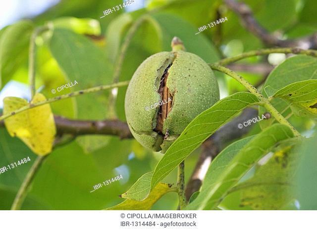 Walnut tree (Juglans regia)