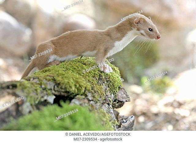 Mustela nivalis, european weasel in Iberian range mountains, La Rioja wine region, Spain, Europe