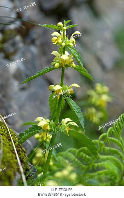 Yellow archangle (Lamium montanum, Galeobdolon montanum), blooming, Germany