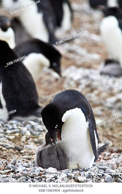 Adélie penguin Pygoscelis adeliae feeding chick at breeding colony at Brown Bluff on the eastern side of the Antarctic Peninsula, Antarctica