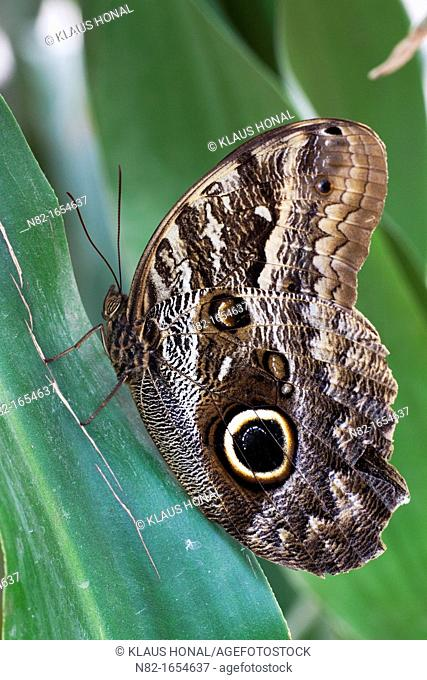 Owl Butterfly Caligo eurilochus resting with closed wings on leaf
