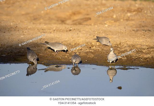 Cape Turtle Dove (Streptopelia capicola), in the waterhole, Kgalagadi Transfrontier Park, Kalahari desert, South Africa/Botswana
