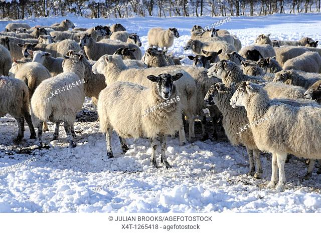 sheep in the winter, unable to access the grass in their field due to deep snow