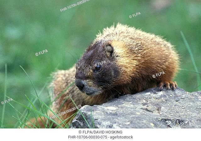 Yellow-bellied Marmot (Marmota flaviventris) Yellowstone National Park, USA