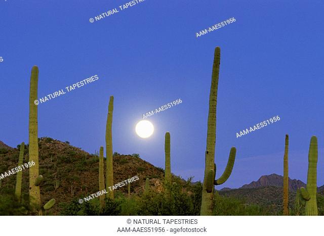 Full moon and Saguaro Cactus, Saguaro National Park, Sonoran Desert, AZ