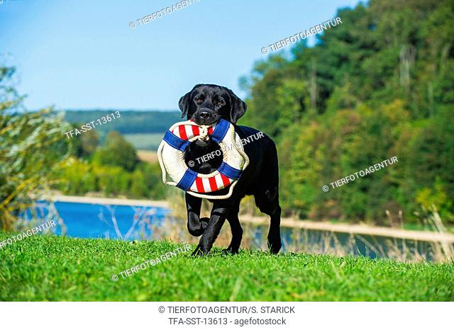 fetching Labrador Retriever