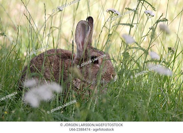 Rabbit, cuniculus, Stockholm, Sweden