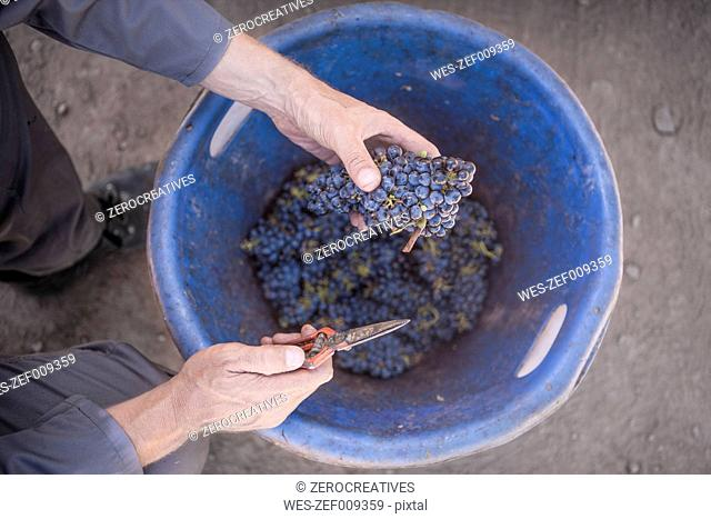 Man harvesting red grapes into bucket
