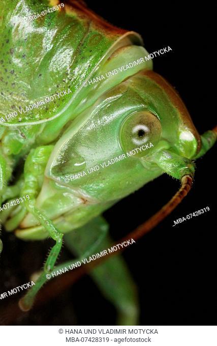 Portrait of Great Green Bush-cricket (Tettigonia viridissima)