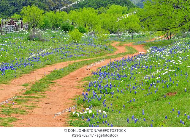 Texas bluebonnets and prickly poppies flowering along a country road with spring mesquite trees, Willow City, Gillespie County, Texas, USA