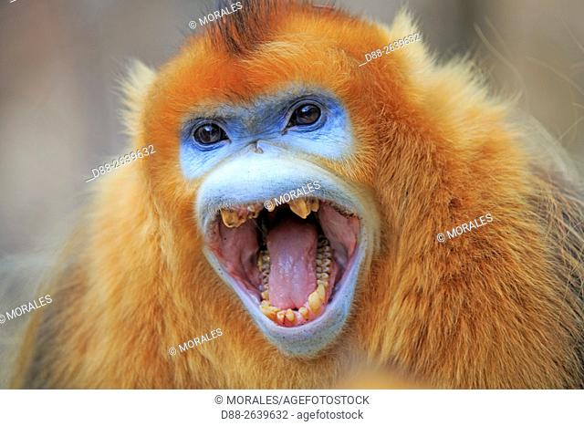Asia, China, Shaanxi province, Qinling Mountains, Golden Snub-nosed Monkey (Rhinopithecus roxellana), adult male, aggressive attitude