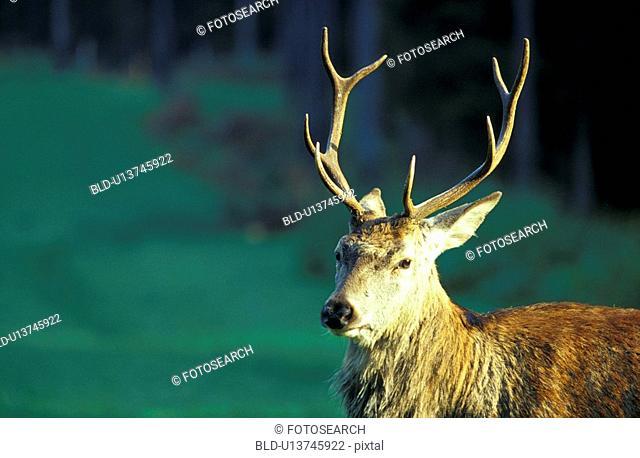 animals, antlers, aichner
