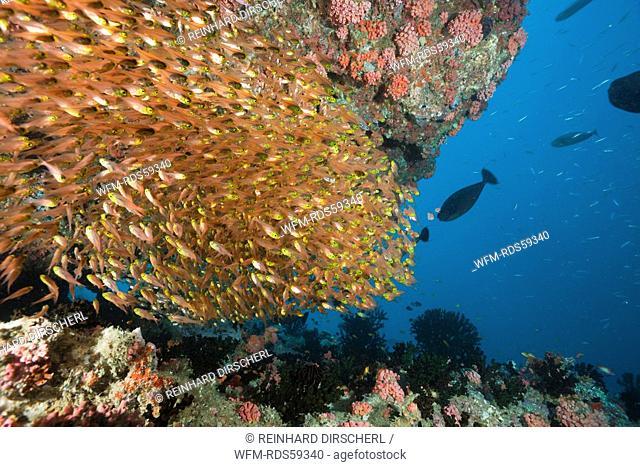 Schooling Pygmy Sweeper, Parapriacanthus, Ellaidhoo House Reef, North Ari Atoll, Maldives