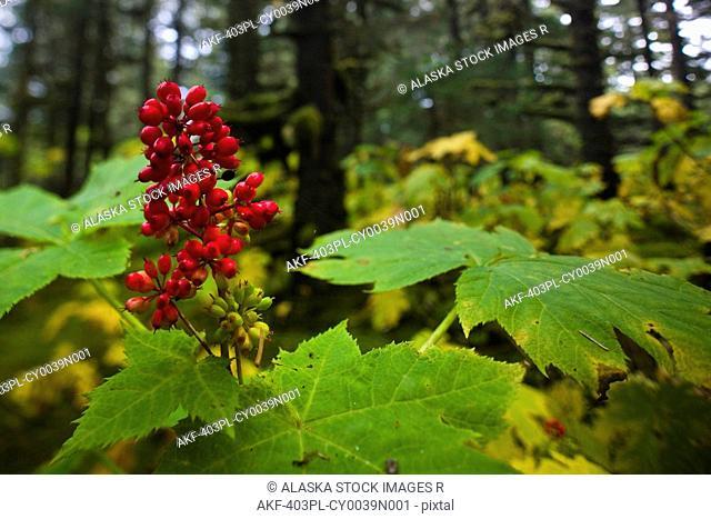 Devils Club growing under the canopy of Spruce trees, Kodiak Island, Southwest Alaska, Fall