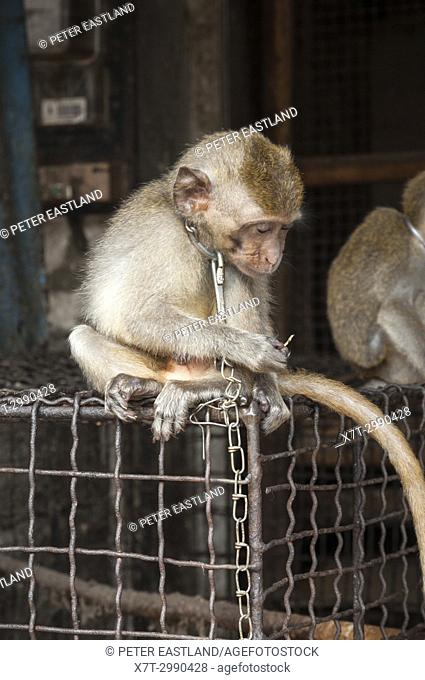 Chained, young, Macaque monkey for sale at the bird and animal market in Denpasar, Southern Bali, Indonesia