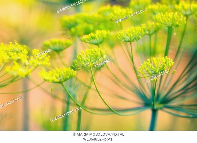 Dill Blossom. Anethum graveolens. June 2005, Maryland, USA