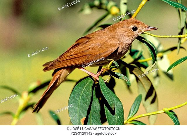 Common nightingale (Luscinia megarhynchos). Southern Spain. Europe
