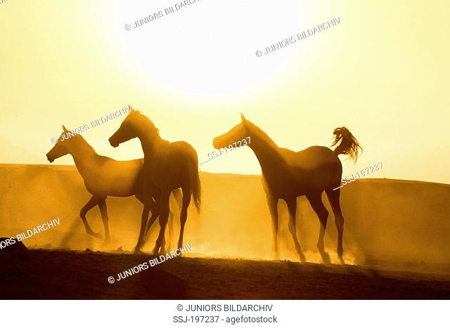 Arabian Horse. Young mares in the desert, silhouetted against the setting sun. Egypt