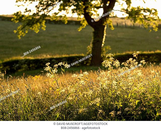 flowers and grasses in a meadow, near Matlock, Derbyshire, Britain