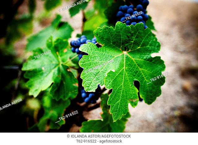 Grapes from the Priorat region  Designation of origin or wine appellation  Quality wines  Catalonia, Spain